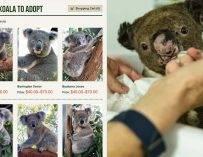 【澳洲山火】樹熊醫院推出助養計劃 每月只需港幣$18就可以助養?!一文教你睇助養程序|時事新聞台