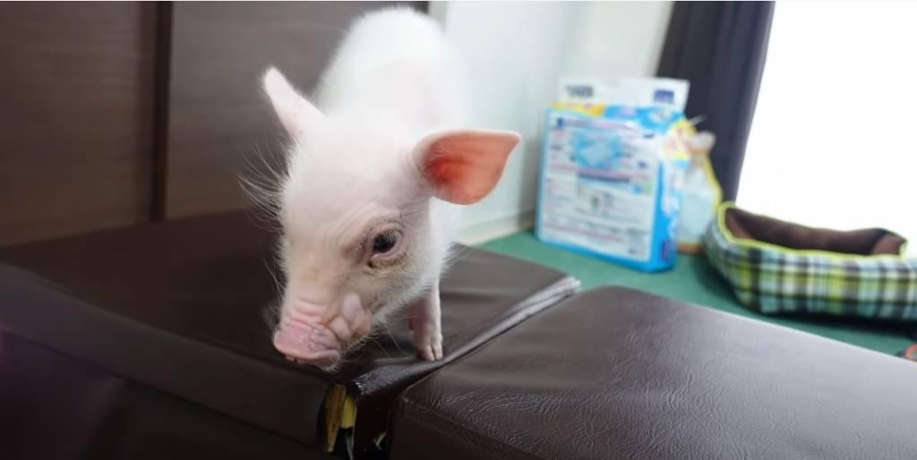 日本YouTuber開設豬仔台 每日更新如何圈養 到第100天就吃掉!
